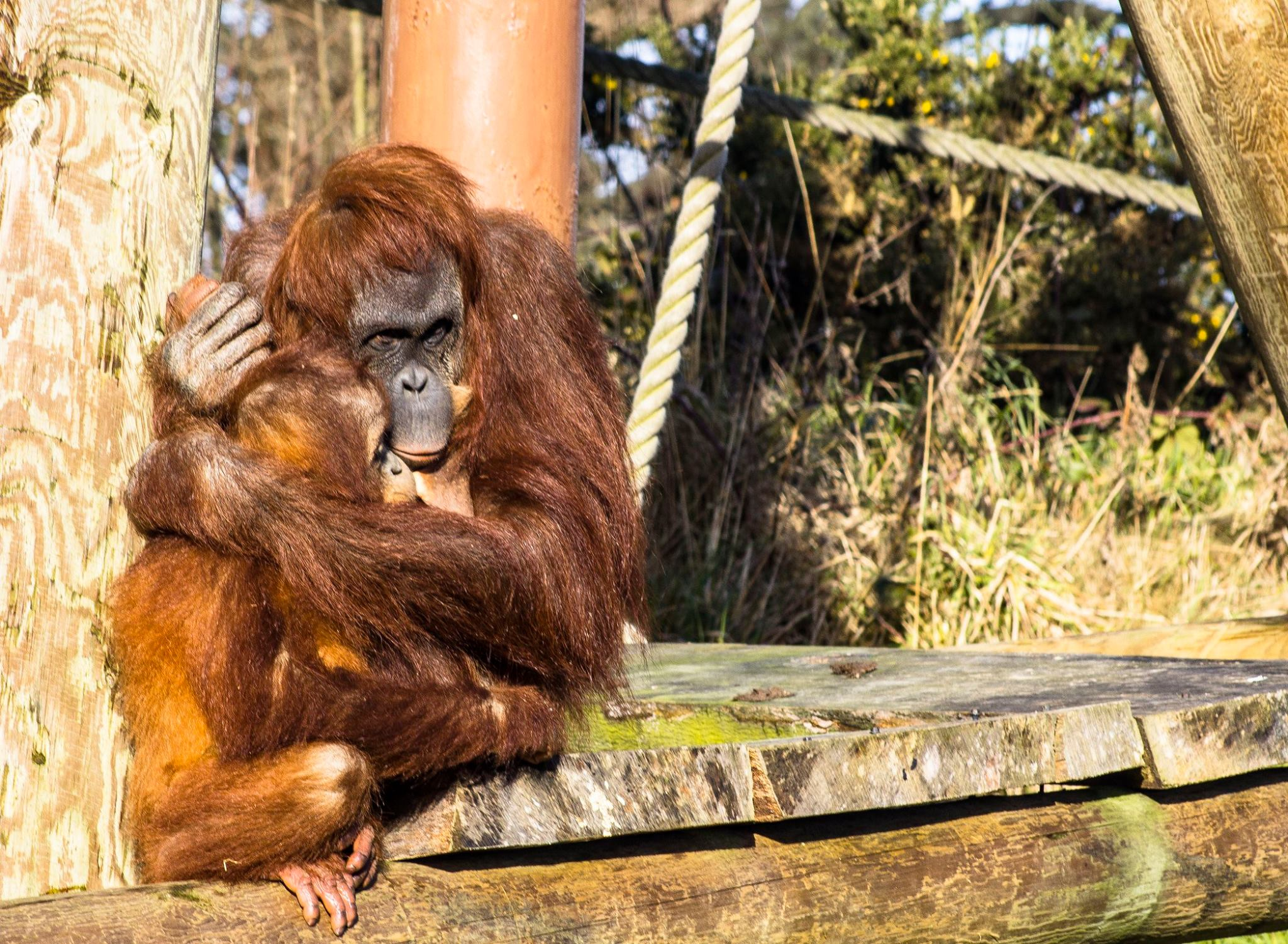 orangutans jersey zoo
