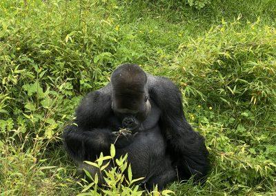 Gorilla Jersey Zoo